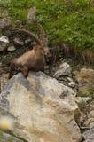 Cabra montés alpino de reclinación con los cuernos largos imagen de archivo