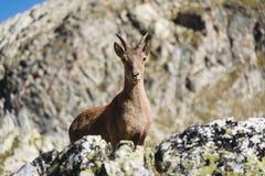Cabra montés alpino femenino joven del Capra que mira la cámara y que se opone en la alta piedra de las rocas en las montañas de  fotografía de archivo libre de regalías