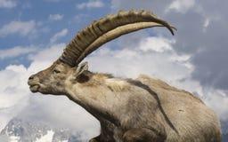 Cabra montés contra el cielo montan@as francia fotografía de archivo libre de regalías
