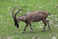 Cabra montés de Bezoar y x28; Aegagrus& x29 del aegagrus del Capra; Fotografía de archivo libre de regalías