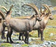 Cabra montés de la montaña Imágenes de archivo libres de regalías