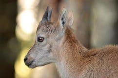 Cabra montés de la montaña del bebé Imagen de archivo libre de regalías