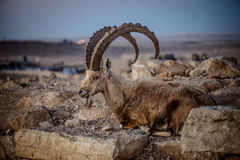 Cabra montés de Mizpe Ramón Foto de archivo