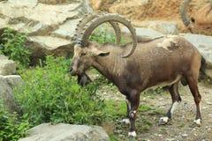 Cabra montés de Nubian Foto de archivo libre de regalías