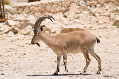 Cabra montés de Nubian Fotografía de archivo
