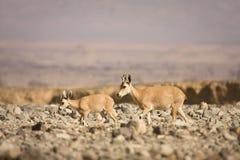 Cabra montés de Nubian con el bebé Imagenes de archivo