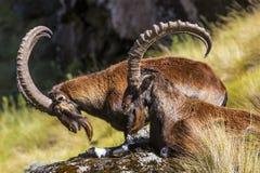 Cabra montés de Walia, montañas de Simien imagen de archivo libre de regalías