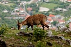 Cabra montés del Capra Fotografía de archivo