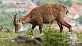 Cabra montés del Capra Fotografía de archivo libre de regalías