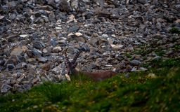 Cabra montés del Capra de Steinbock del Capricornio que se coloca en un sideview escarpado del acantilado de la piedra de la mont foto de archivo libre de regalías