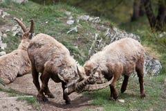 Cabra montés del Capra - montan@as italianas Imagenes de archivo