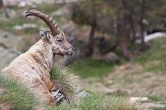 Cabra montés del Capra - montan@as italianas Foto de archivo libre de regalías