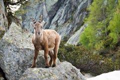 Cabra montés en Chamonix Fotografía de archivo libre de regalías