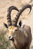 Cabra montés en Israel Fotografía de archivo
