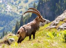 Cabra montés en la colina en las montañas Fotos de archivo