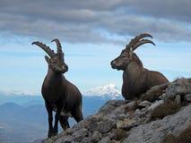 Cabra montés en la cumbre Fotos de archivo