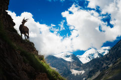 Cabra montés en la mucha altitud Imagen de archivo libre de regalías