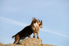 cabra montés en la sierra de Gredos Fotos de archivo libres de regalías