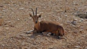 Cabra montés en Sde Boker, Israel imagen de archivo