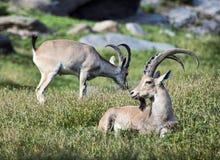 Cabra montés en terreno montañoso Imagen de archivo libre de regalías