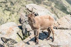 Cabra montés encima de las rocas Imágenes de archivo libres de regalías