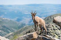 Cabra montés encima de las rocas Imagen de archivo