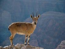 Cabra montés encima de un acantilado en el desierto de Judea fotos de archivo