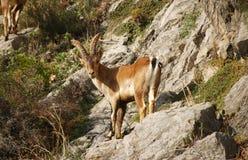 Cabra montés español Imagen de archivo libre de regalías