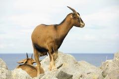 Cabra montés español Foto de archivo libre de regalías
