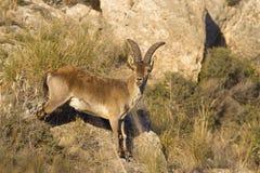 Cabra montés español imagen de archivo