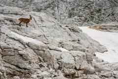 Cabra montés masculino sobre la pared de la roca, parque nacional de Triglav - Julian Al Foto de archivo