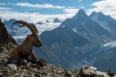 Cabra montés, montañas francesas Fotografía de archivo