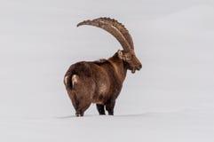 Cabra montés que camina en la nieve Fotos de archivo libres de regalías