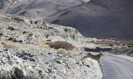 Cabra montés que corre para cruzar el camino Imagen de archivo libre de regalías