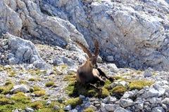 Cabra montés que descansa en una hierba foto de archivo