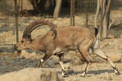 Cabra montés salvaje de Ein Gedi en el desierto de Judea, Tierra Santa imagenes de archivo