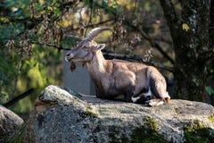 Cabra mont?s masculino de la monta?a o cabra mont?s del capra que se sienta en una roca imágenes de archivo libres de regalías
