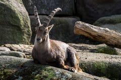 Cabra mont?s masculino de la monta?a o cabra mont?s del capra que se sienta en una roca foto de archivo libre de regalías