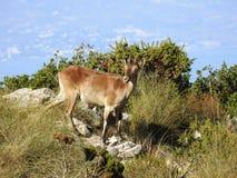 Cabra Montes, Iberische Steenbok Royalty-vrije Stock Afbeeldingen