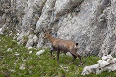 Cabra-montesa Imagem de Stock Royalty Free
