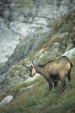 Cabra-montesa Fotografia de Stock Royalty Free