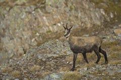 Cabra-montesa Imagem de Stock