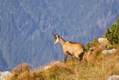 Cabra-montesa Foto de Stock Royalty Free