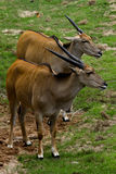 Cabra-montesa Fotografia de Stock