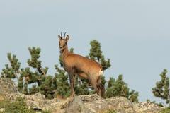 Cabra-montesa Imagens de Stock Royalty Free