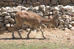 Cabra-montesa Fotos de Stock