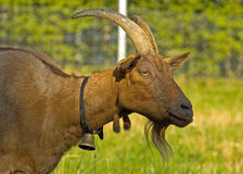 Cabra-montesa alpina da montanha Imagem de Stock