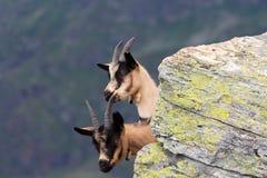 Cabra-montesa atrás de uma rocha imagem de stock