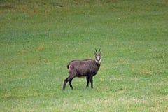 Cabra-montesa bonita em um prado fotos de stock royalty free