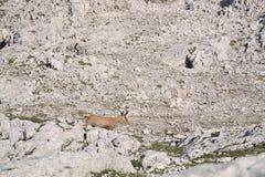 Cabra-montesa da cabra selvagem Foto de Stock